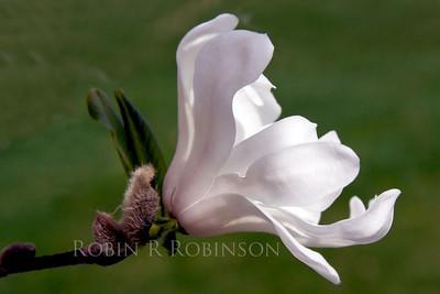 Star magnolia blossom, right facing, detail, Phippsburg Maine