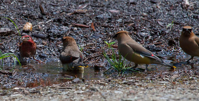 It was 88 degrees the day this photo was taken; hot for Maine. The birds were enjoying a bath in water from a lawn sprinkler. House Finch, male cavorting with Cedar Waxwings in lawn sprinkler puddles on hot, summer day, Phippsburg, Maine. It has been record breaking hot this past week. The day this photo was taken it was 88 and had not rained in over a week. The birds enjoyed this bath for less than 10 minutes.