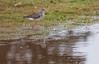 Lesser Yellowlegs, migratory shorebird in  Maine, Sebasco Harbor, early September