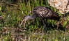 Limpkin with snail, a wading bird in The Everglades National Park, Florida, March 2013. Shark Valley