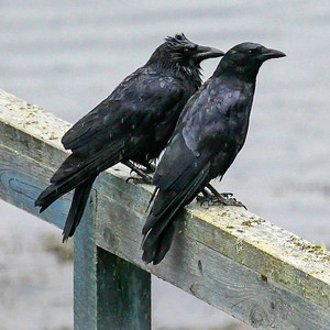 a pair of common crows sitting in the rain, Phippsburg Maine lookin quite miserable