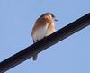 winter Eastern Bluebird, Phippsburg Maine Januarry