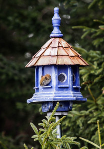Red Squirrel peaking from bird house hole, Phippsburg Maine