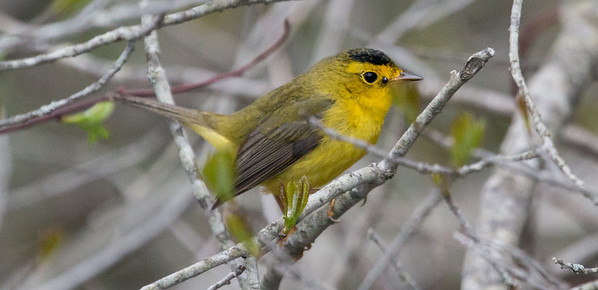 Wilson's Warbler with a tick on its face! Phippsburg, Maine May