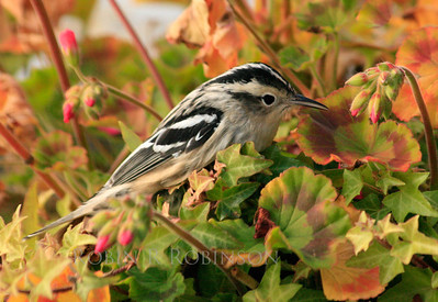 Black and White warbler, perched in pelargoniums, fall migration, Phippsburg, Maine