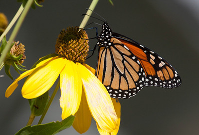 Monarch butterfly migrating from Maine, October 2013, Small Point, Phippsburg Maine