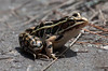 Pickerel Frog, close up, Phippsburg, Maine late July