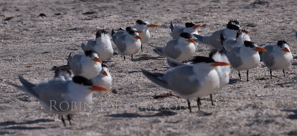 Royal Tern flock on South Florida on Sanibel Island. Maine does occaissionally host Royal Terns. They have been reported in Sagadahoc County on Seawall and Popham Beach in Phippsburg.