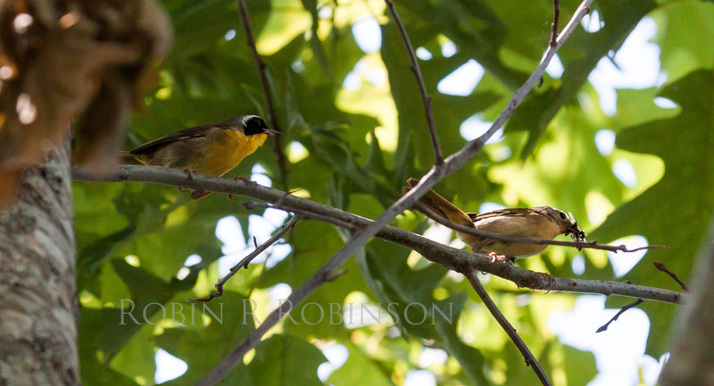 Common Yellowthroat warblers, Geothlypis trichas male on the left,  female with insects on the right, Phippsburg, Maine
