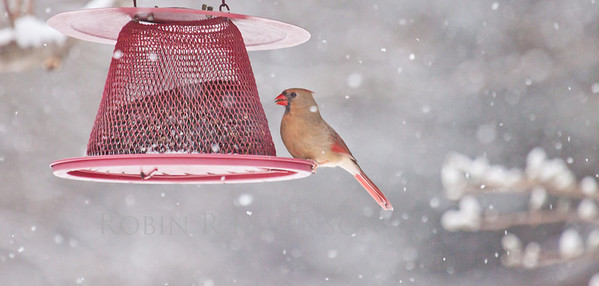 female Northern Cardinal in snow storm on red bird feeder, Phippsburg, Maine winter bird with seed