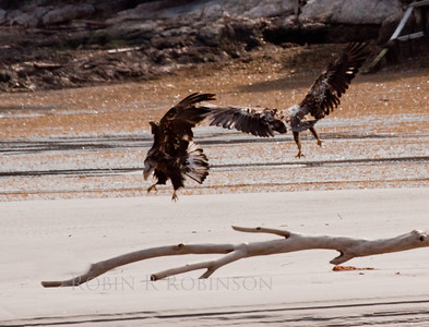 Young Bald Eagles Scrapping