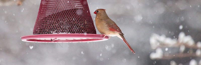 female Northern Cardinal in snow storm on red bird feeder, Phippsburg, Maine winter bird