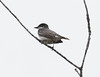 An Eastern Kingbird perched high in the spring canopy, Phippsburg, Maine May