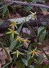 Trout Lilies are a native Maine wildflower. They are a true spring ephemeral, disappearing after they bloom.