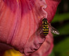 Hover fly on petal of Day lily, Phippsburg Maine mid July garden