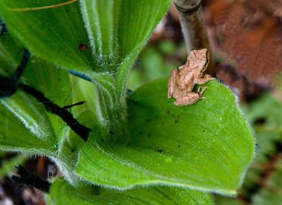 A tiny Wood Frog, Rana sylvatica in Phippsburg, Maine first week of June.