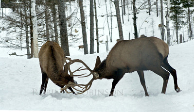 Fighting elk, Jefferson Maine in the snow