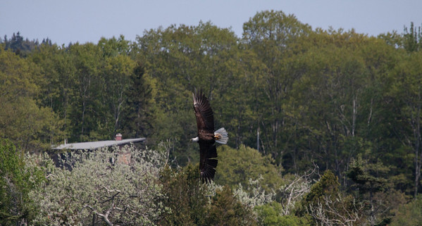 Bald eagle, adult in flight, Totman Cove, Phippsburg, Maine. This bird was strafing a single, Common Atlantic Eider chick. It swooped down repeatedly, but the tiny ball of fluff bird dove under each time the eagle came for it. Eventuallly, after about 10 minutes, the eagle was simply too tired to continue. It flew to a tree and rested. Several hours later, it returned to try again, and fail, again. The bird is panting from exhaustion.