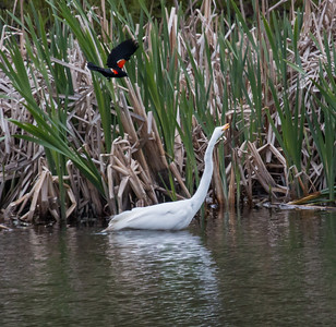 A Great egret is menaced by a Red Winged Blackbird male protecting its nest in the reeds. May 16, 2014, West Bath, Maine spring scene