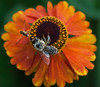 A Bumble Bee and a Hover fly feeding on a Helenium flower, Phippsburg Maine
