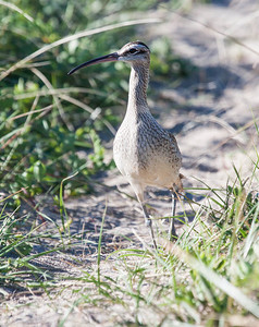Whimbrel in the marsh grass, Hermit Island, Phippsburg, Maine . Whimbrels are migratory shorebirds in  Maine.