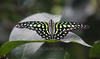 """We visited the Key West Butterfly and Nature Conservancy in Key West. It was a moving experience. It is set up as if the visitor is inside a giant terrarium amidst the butterflies (over 1500!), exotic birds and flowers. I recommend it for anyone giong to Key West. For more, see <a href=""""http://www.keywestbutterfly.com/info.htm"""">http://www.keywestbutterfly.com/info.htm</a>, Tailed Jay butterfly"""