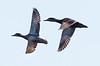 Mallard duck hens in flight, Damariscotta Mills, Maine March
