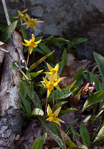 Trout Lily, also called Fawn lily, erythronium americanum, is an indigenous, Maine wildflower. This yellow spring ephemeral grows in wild abundance in West Point, Phippsburg, Maine. When I lived in North Bath, only 15 miles inland from here, I rarely ever saw this flower in the wild. In Phippsburg, it grows in huge colonies.