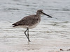 """Willet, Catoptrophorus semipalmatus is a shore bird also found in Maine in the summer months. It is migratory in Maine. This was photographed in south Florida on Sanibel Island at the J.N. """"Ding"""" Darling National Wildlife Refuge, March 2013. For more about this wonderful preserve see <a href=""""http://www.fws.gov/dingdarling/About/DingDarling.html"""">http://www.fws.gov/dingdarling/About/DingDarling.html</a>"""