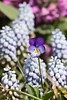 spring flowers, Phippsburg, Maine coastal garden, light blue grape hyacinths, Valerie Finnis and single Johnny Jump Up