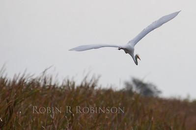 Great White Heron,