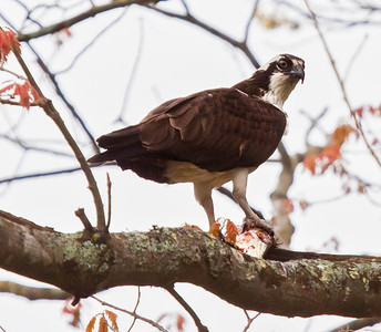 Pandion haliaetus, Osprey, also called a Fish Hawk, is a migratory raptor in Maine.
