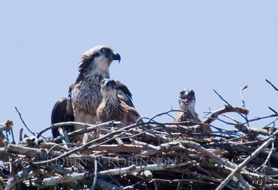 female Osprey with chicks, the one on the right is calling to her. Female osprey have streaked breasts. The males have a clean, white breast. Osprey, also called Fish Hawks, Pandion haliaethus is a migratory bird of prey in Maine. This large raptor hunts only live fish. It hovers in the air over water to see fish then plunges feet first to capture fish.