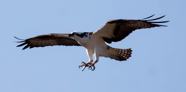 .   Pandion haliaetus, Osprey, also called a Fish Hawk, is a migratory raptor in Maine. For more on Cecropia moths' development and life cycle visit http://www.wormspit.com/cecropia.htm. Pandion haliaetus, Osprey are migratory, fish eating raptors in Maine.
