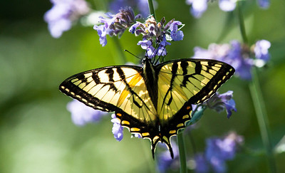 Canadian Tiger Swallowtail, Papilio canadensis, Phippsburg,, Maine. 2013 is turning out to be a really big year for  Canadian Tiger Swallowtail butterflies in coastal Maine. I am seeing as many as a half dozen at a time. They really like Nepeta, also known as Catmint.
