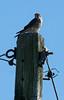 American Kestrel, Maine's smallest raptor, a migratory hawk