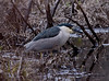 Black Crowned Night Heron fishing in swamp, West Point, Phippsburg, Maine predatory wading bird