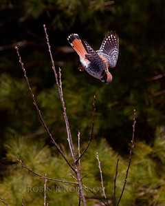 American Kestrel in stoop Phippsburg Maine