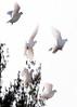 White Doves in flight, flock on Parker Head Road at Center, Phippsburg, Maine