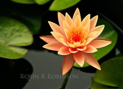 Orange Waterlily