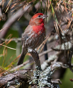 Male House Finch, Phippsburg, Maine Totman Cove June