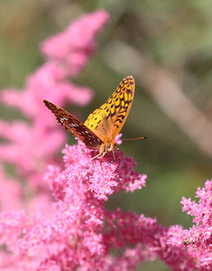 Great Spangled Fritillary buttterfly feeding on pink astilbe in my Phippsburg Maine garden