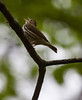 An Oven Bird singing from the tree tops, Portland, Maine