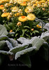 golden yellow Strawflowers and Artemesia agrentia, lovely fuzzy big leaves