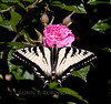 Canadian Tiger Swallowtail butterfly, dorsal view, on rose Gootendorst, Phippsburg Maine coastal garden, June