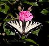 Canadian Tiger Swallowtail butterfly, dorsal view, on rose Gootendorst, Phippsburg Maine coastal garden, June