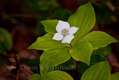 Canada Dogwood, also called Bunchberry, white flowers are actually bracts or leaves, not blossoms at all. The only true blossom or flower is the center. An indigenous, native wildflower, Phippsburg, Maine. The white 'flowers' are followed by clusters of brilliant red berries, thus the name Bunchberry.