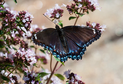 Red-spotted Purple (L. a. astyanax) butterfly ventral view, feeding on oregano flowers, seen in Phippsburg, Maine late August