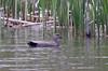 Gadwall duck, Capisic Pond, Portland Maine May, 15, 2010