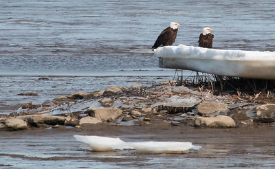 This pair of Bald eagles  was sitting on an ice flow on Winnegance Bay as seen from Phippsburg in March. This is a mate pair, male and female, that have a nest nearby.